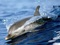 عکس دلفین در حال شنا