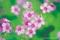 شکوفه های کوچک بهاری