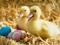 والپیپر جدید جوجه اردک ها