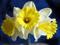 گلهای نرگس