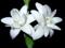 گل مریم زیبا