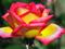 گل رز دو رنگ بسیار زیبا