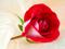 عکس شاخه گل رز سرخ