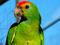 طوطی سبز آمازون