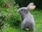 تصویر خرگوش خاکستری
