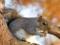 سنجاب خاکستری
