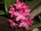 والپیپر گل ارکیده صورتی
