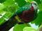 کبوتر میوه رنگارنگ