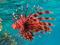 خروس ماهی یا شیر ماهی