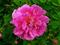 گل گلاب گل محمدی