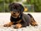 توله سگ روتوایلر