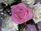 گل رز ارغوانی سفید