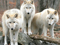 گله گرگ های سفید