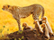 چیتا های افریقایی