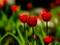 عکس گل های لاله سرخ