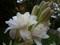 والپیپر گل مریم
