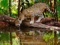 یوزپلنگ در حال آب خوردن