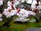 عکس شکوفه های بهاری