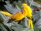 عکس طوطی زرد رنگ زیبا
