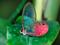 عکس پروانه با بال شیشه ای