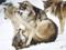 عکس درگیری گرگ های وحشی