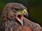 عکس عقاب عصبانی