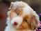 سگ نژاد استرالین شپرد