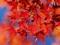 برگ پاییزی قرمز
