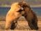 عکس درگیری و نبرد خرس ها