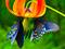 پروانه روی گل لیلیوم