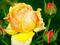 عکس زیبای گل رز زرد