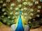 دم زیبای طاووس نر