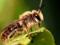 عکس بزرگ و نزدیک زنبور