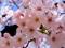 شکوفه های بهاری درخت هلو