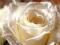 گل رز سفید بزرگ