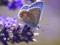 پروانه آبی روی گل آبی