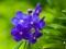 تصویر گل ارکیده آبی