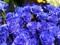 زیباترین پوسر گلهای رز آبی