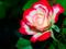 گل رز دورنگ قرمز و سفید