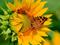 پروانه وری گل آفتابگردان