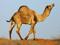 عکس شتر در بیابان