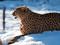 عکس چیتا در برف زمستانی