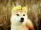 عکس سگ خوشگل با تاج گل