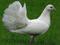 کبوتر دم چتری سفید