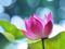 والپیپر گل ارغوانی زیبا