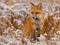 عکس روباه قرمز در برف زمستان