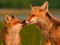 عکس زیبا از روباه مادر و فرزند