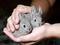 خرگوش های خاکستری کوچولو