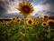 مزرعه گل های آفتاب گردان