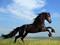 اسب انگلیسی سیاه
